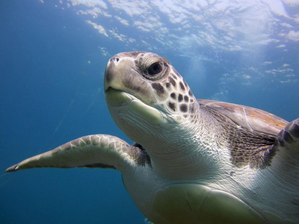 diving-tenerife-El-Puertito-Turtle-2