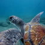 diving-tenerife-El-Puertito-Turtle-3