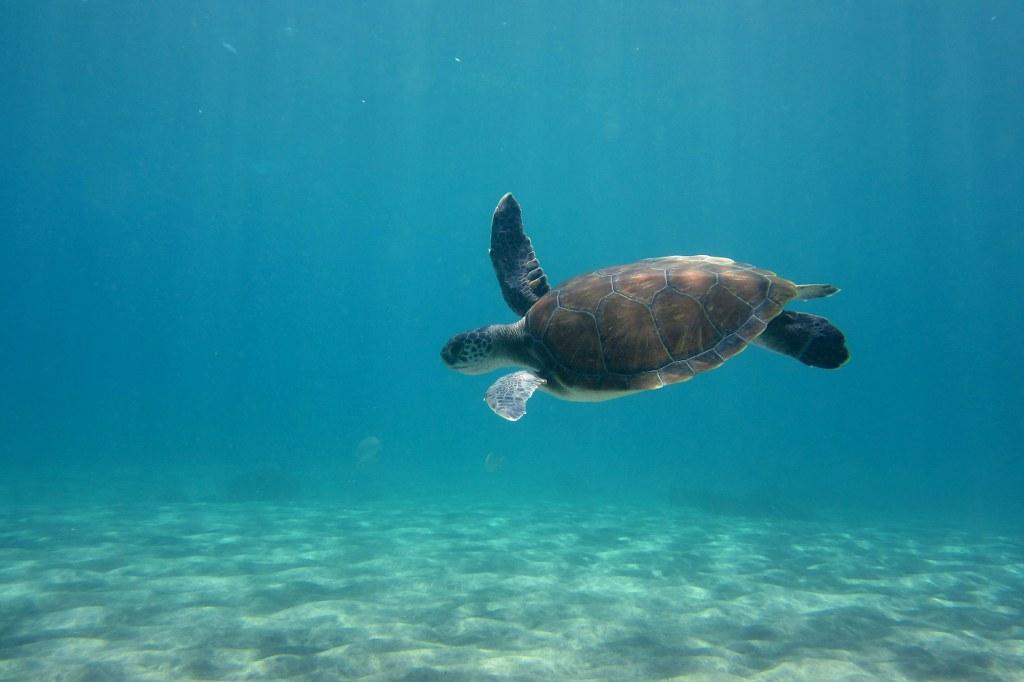 diving-tenerife-El-Puertito-Turtle-7