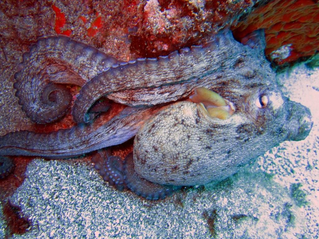 diving-tenerife-Marazul-Ocotpus