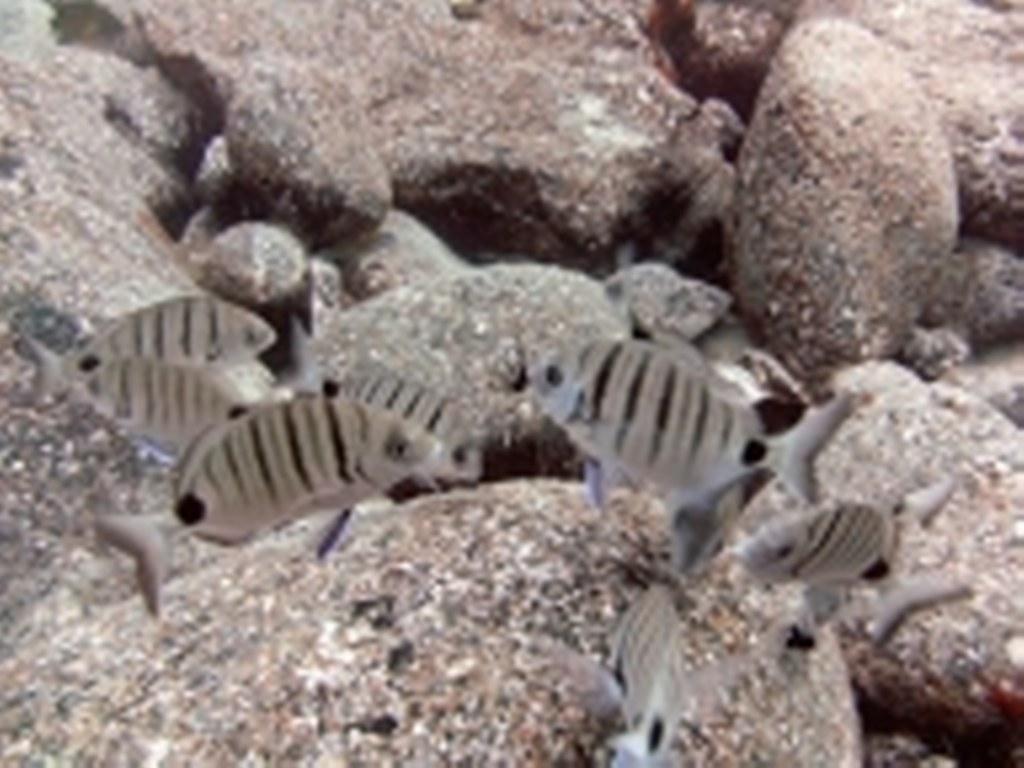 diving-tenerife-Marazul-Striped-Bream