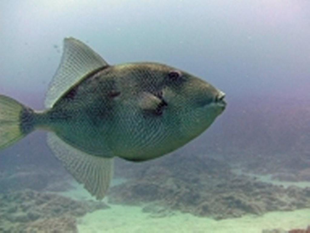 diving-tenerife-Marazul-Trigger-Fish