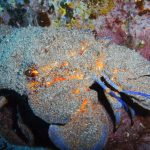 diving-tenerife-Punta-Rasca-Canarian-Lobster