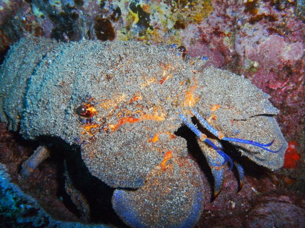 diving-tenerife-Punta-Rasca-Canarian-Lobster