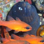 diving-tenerife-Punta-Rasca-Cardinal-Fish-Black-Moray-Eel-Fangtooth-Moray-Eel