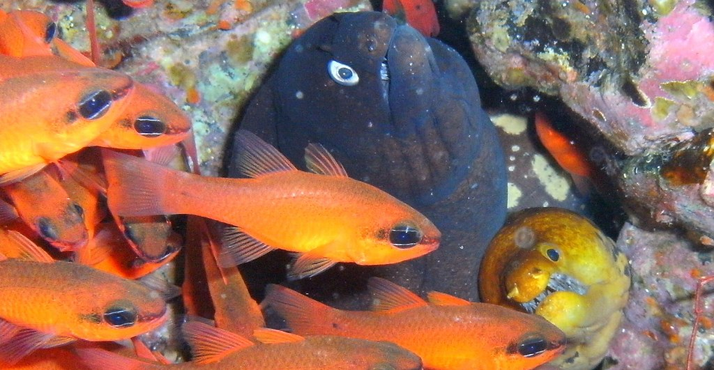 diving-tenerife-Punta-Rasca-Cardinal-Fish-Black-Moray-Eel-Fangtooth-Moray-Eel