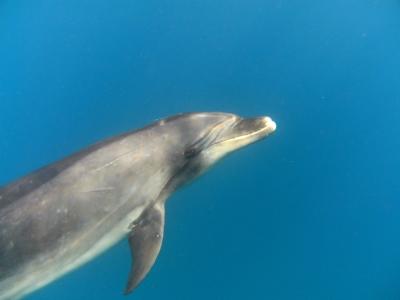 diving-tenerife-dolphin_tenerife_13.