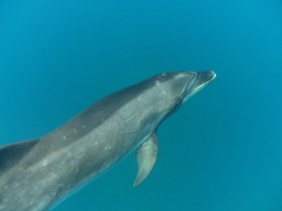 diving-tenerife-dolphin_tenerife_14