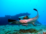 diving-tenerife-playa_paraiso-ray_dive_site.