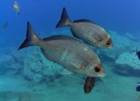 diving-tenerife-yellow-mountain-dive-site-2