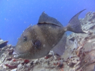 diving-tenerife-yellow-mountain-dive-site-3