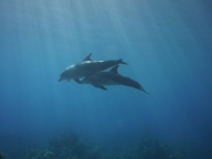 palm_mar_wall_tenerife_diving_site_dolphins