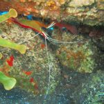 Divemaster internship Cleaner Shrimp