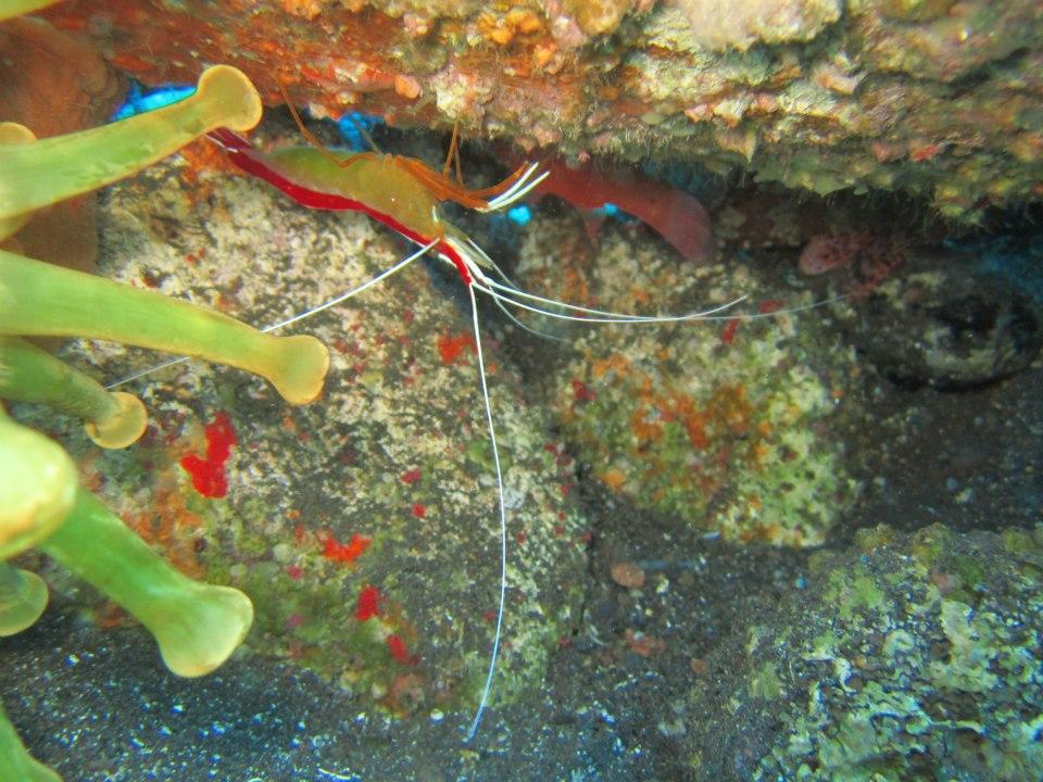 Divemaster internship Cleaner Shrimp