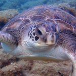 Diving-Tenerife-Aquatic-Life-Sharks-Sting-Rays-Fish (112)