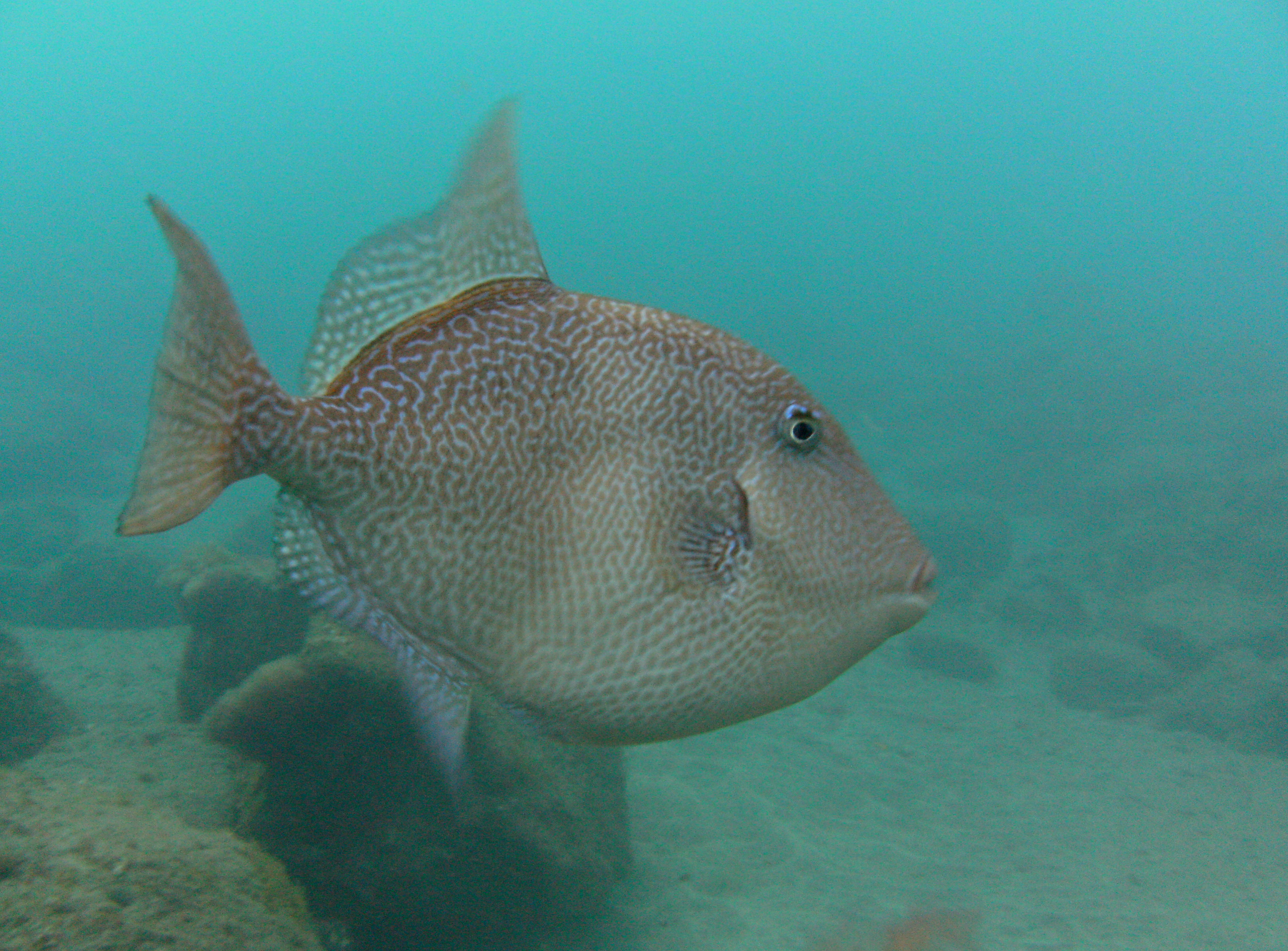 Diving-Tenerife-Aquatic-Life-Sharks-Sting-Rays-Fish-117.