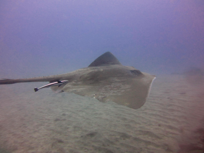 Diving-Tenerife-Aquatic-Life-Sharks-Sting-Rays-Fish (14)
