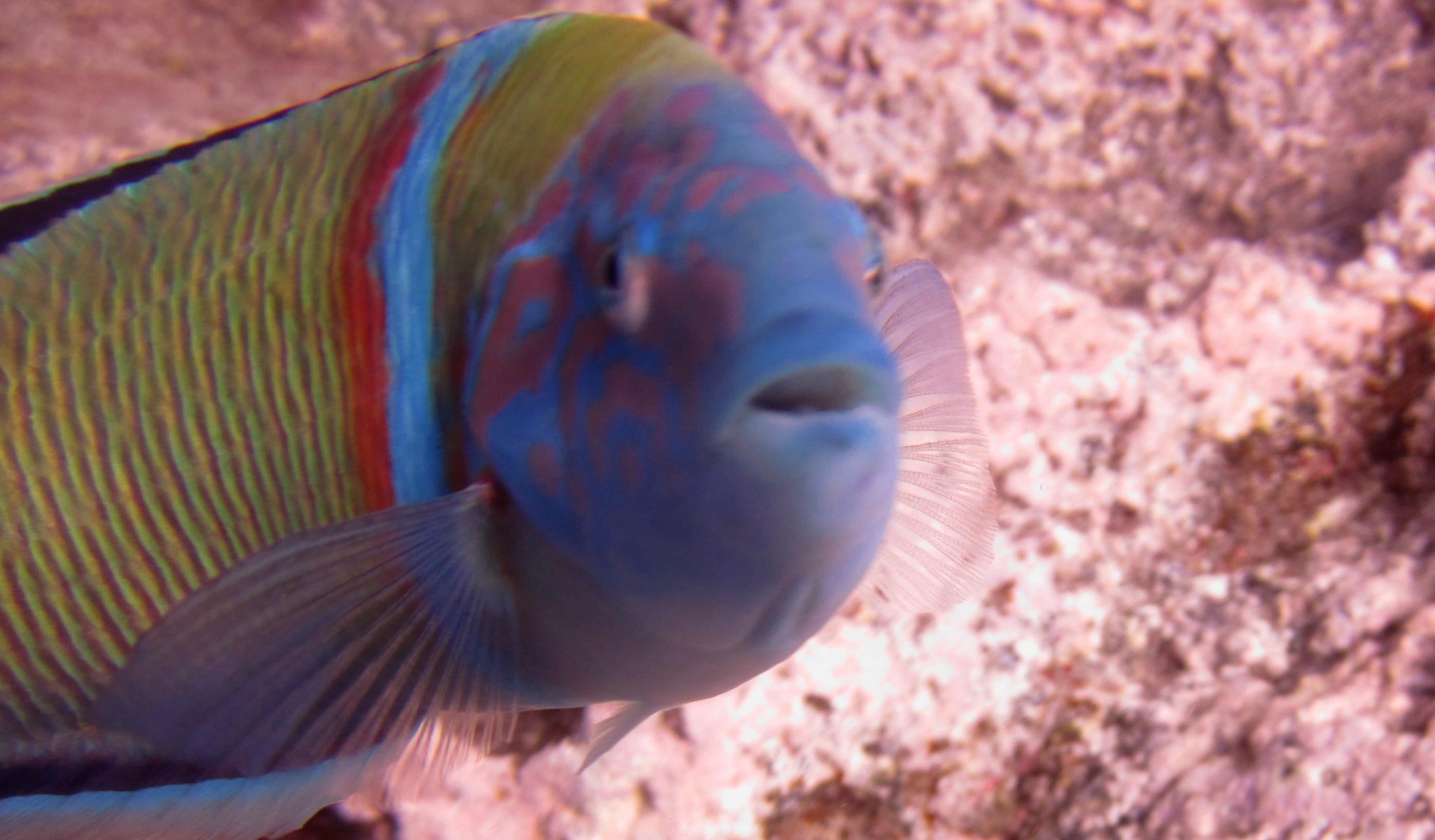 Diving-Tenerife-Aquatic-Life-Sharks-Sting-Rays-Fish (18)