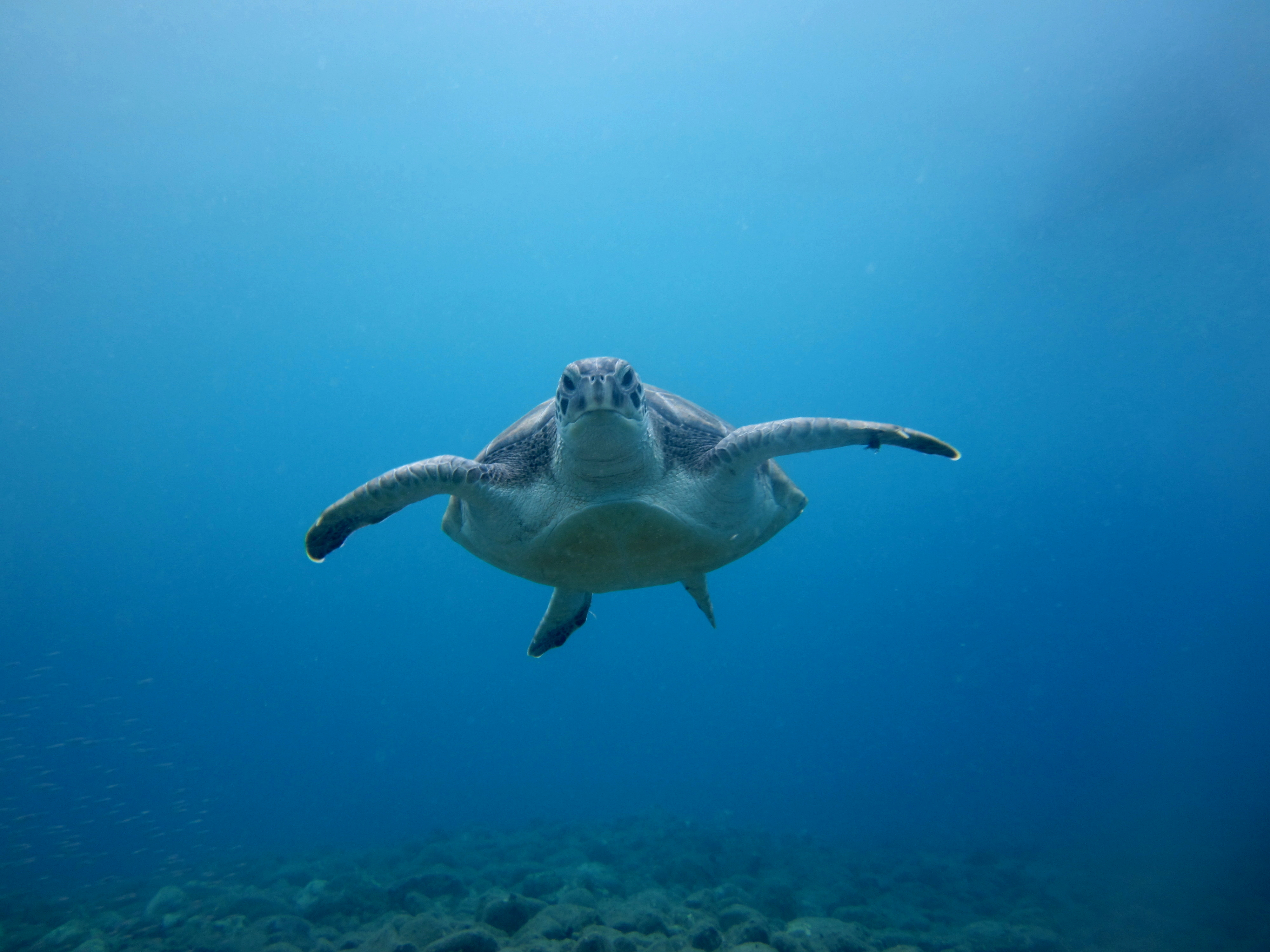 Diving-Tenerife-Aquatic-Life-Sharks-Sting-Rays-Fish (24)