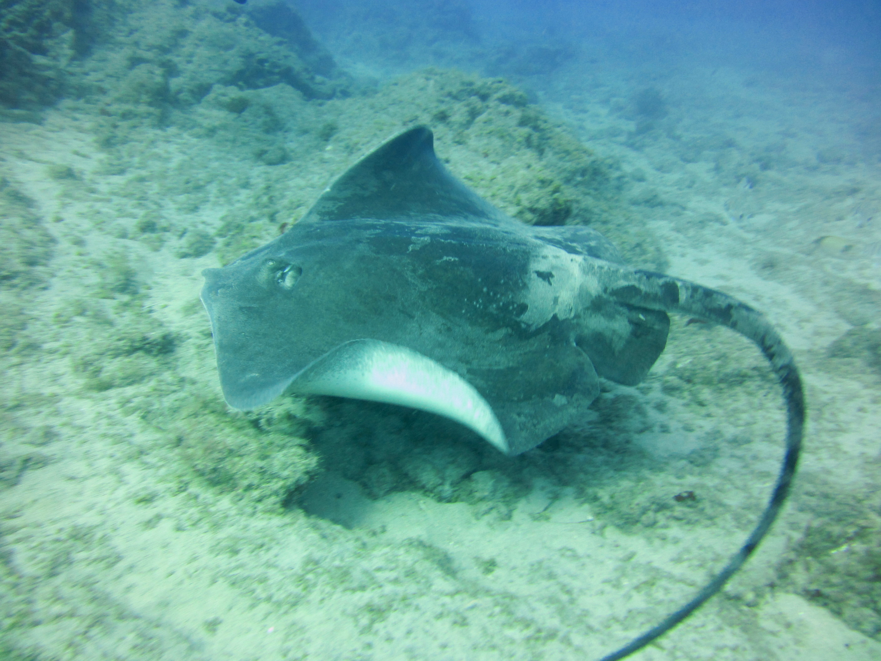 Diving-Tenerife-Aquatic-Life-Sharks-Sting-Rays-Fish (44)