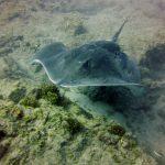 Diving-Tenerife-Aquatic-Life-Sharks-Sting-Rays-Fish (45)