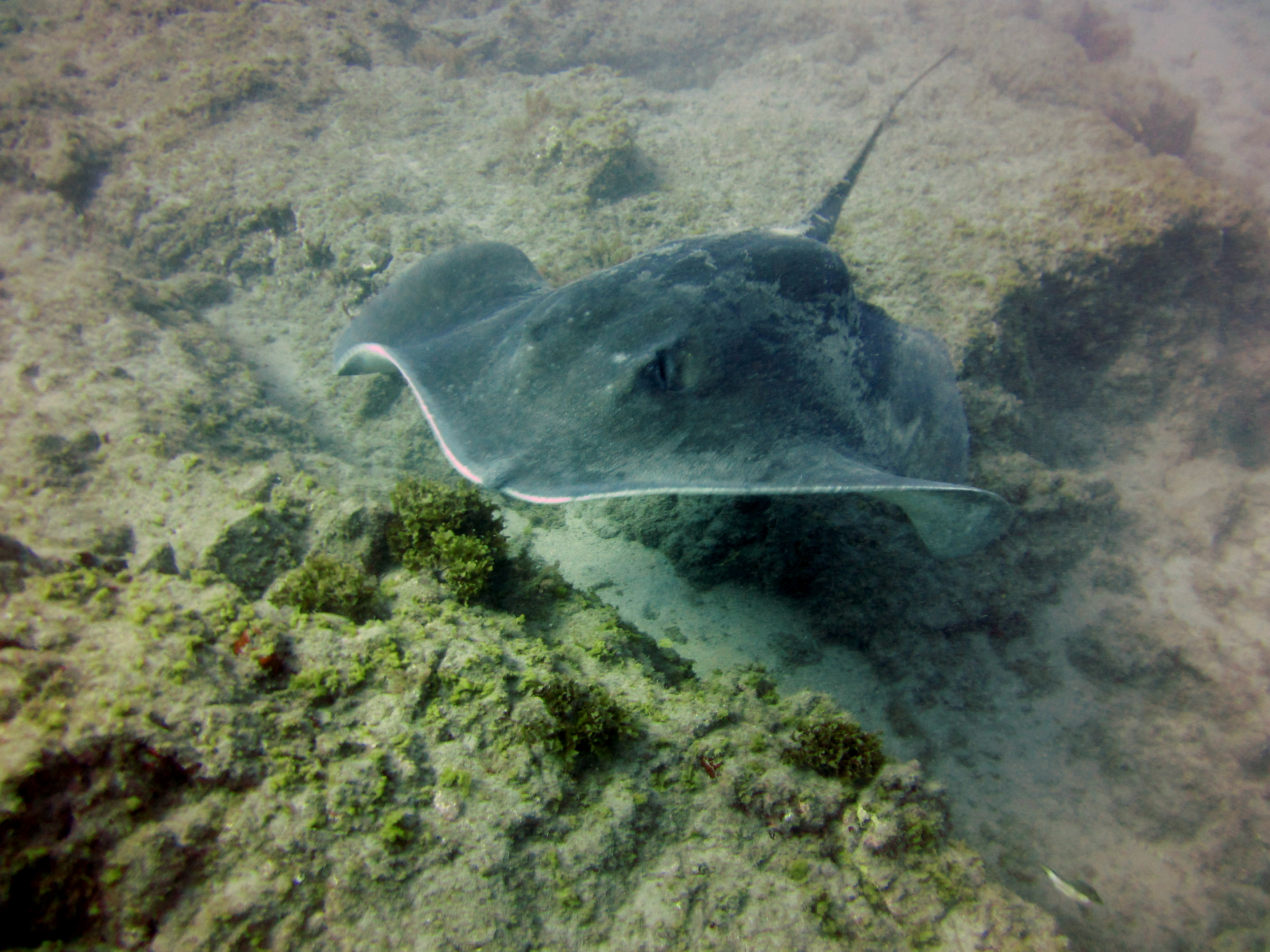 Diving-Tenerife-Aquatic-Life-Sharks-Sting-Rays-Fish (45)