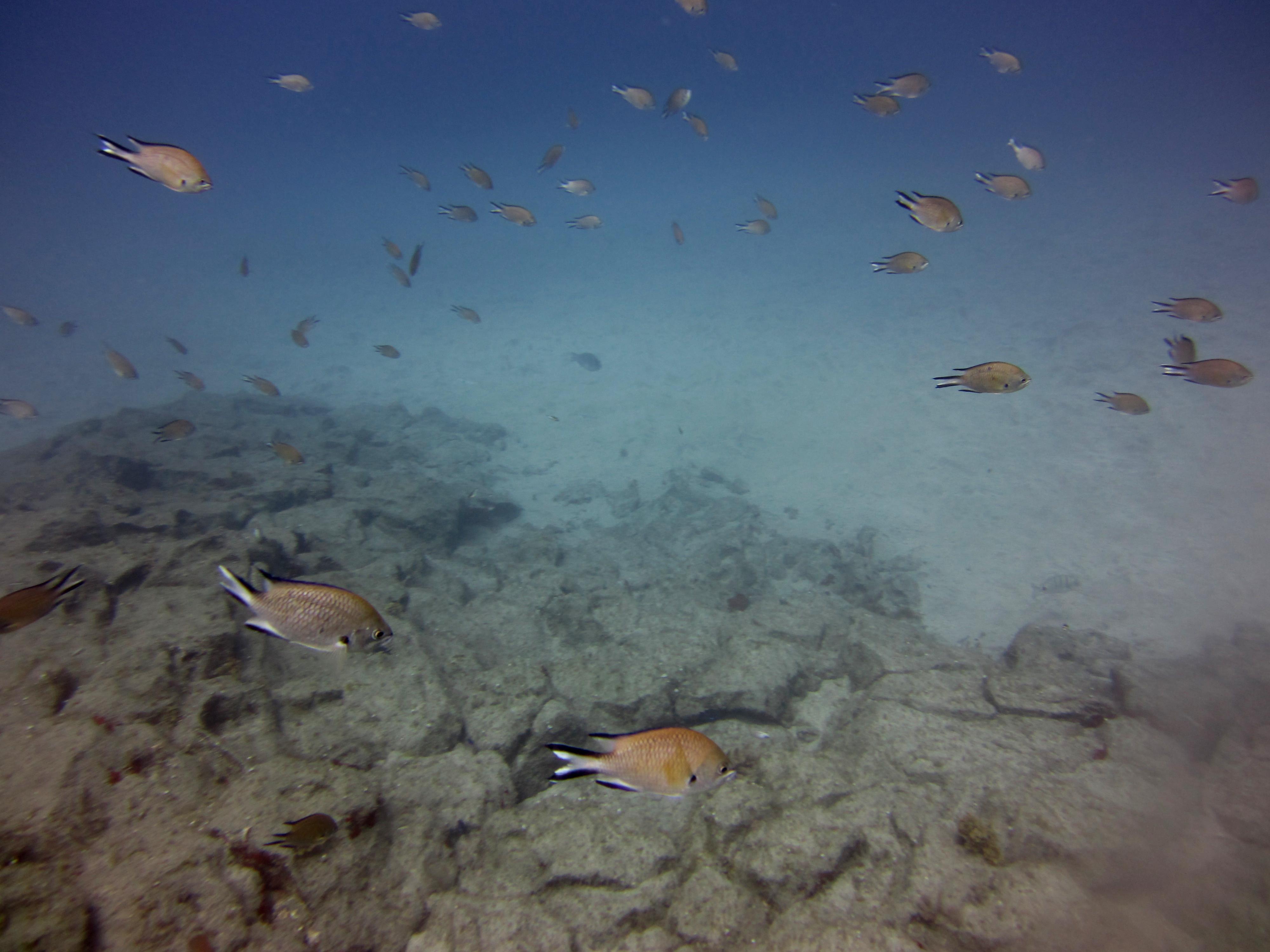Diving-Tenerife-Aquatic-Life-Sharks-Sting-Rays-Fish (51)