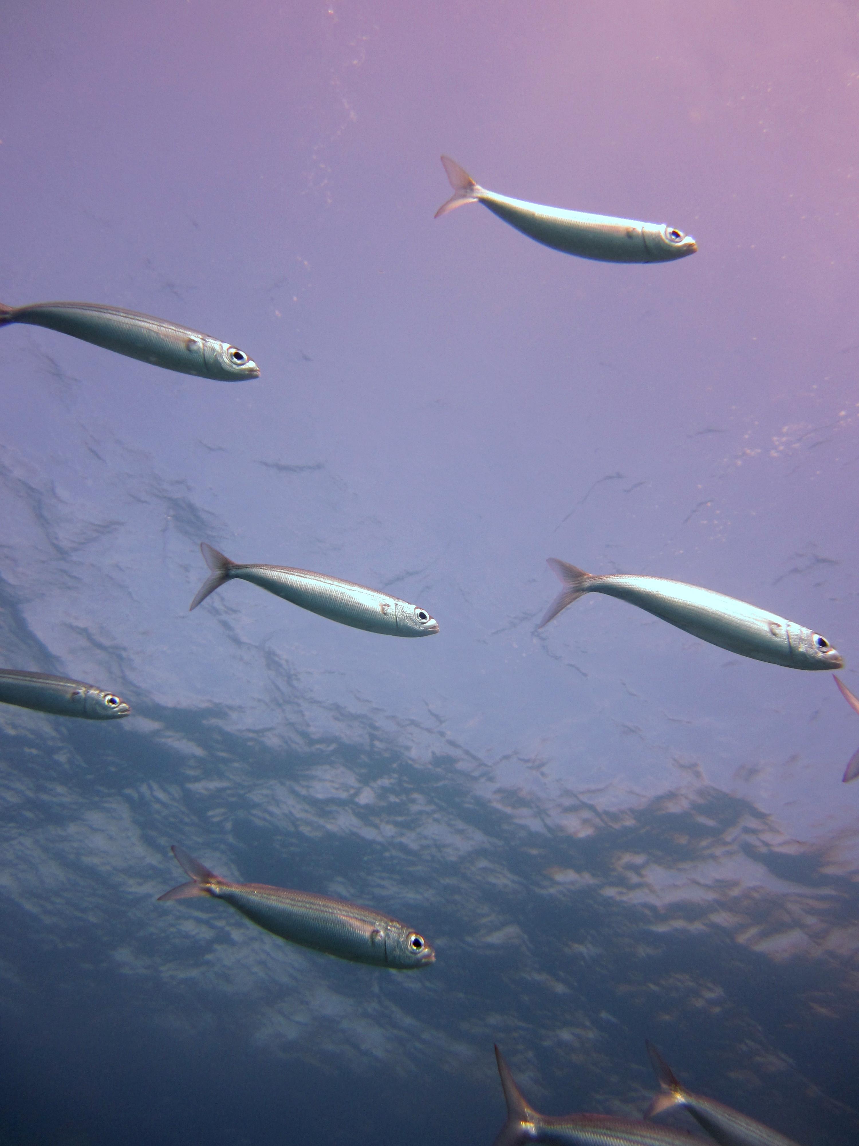 Diving-Tenerife-Aquatic-Life-Sharks-Sting-Rays-Fish (52)