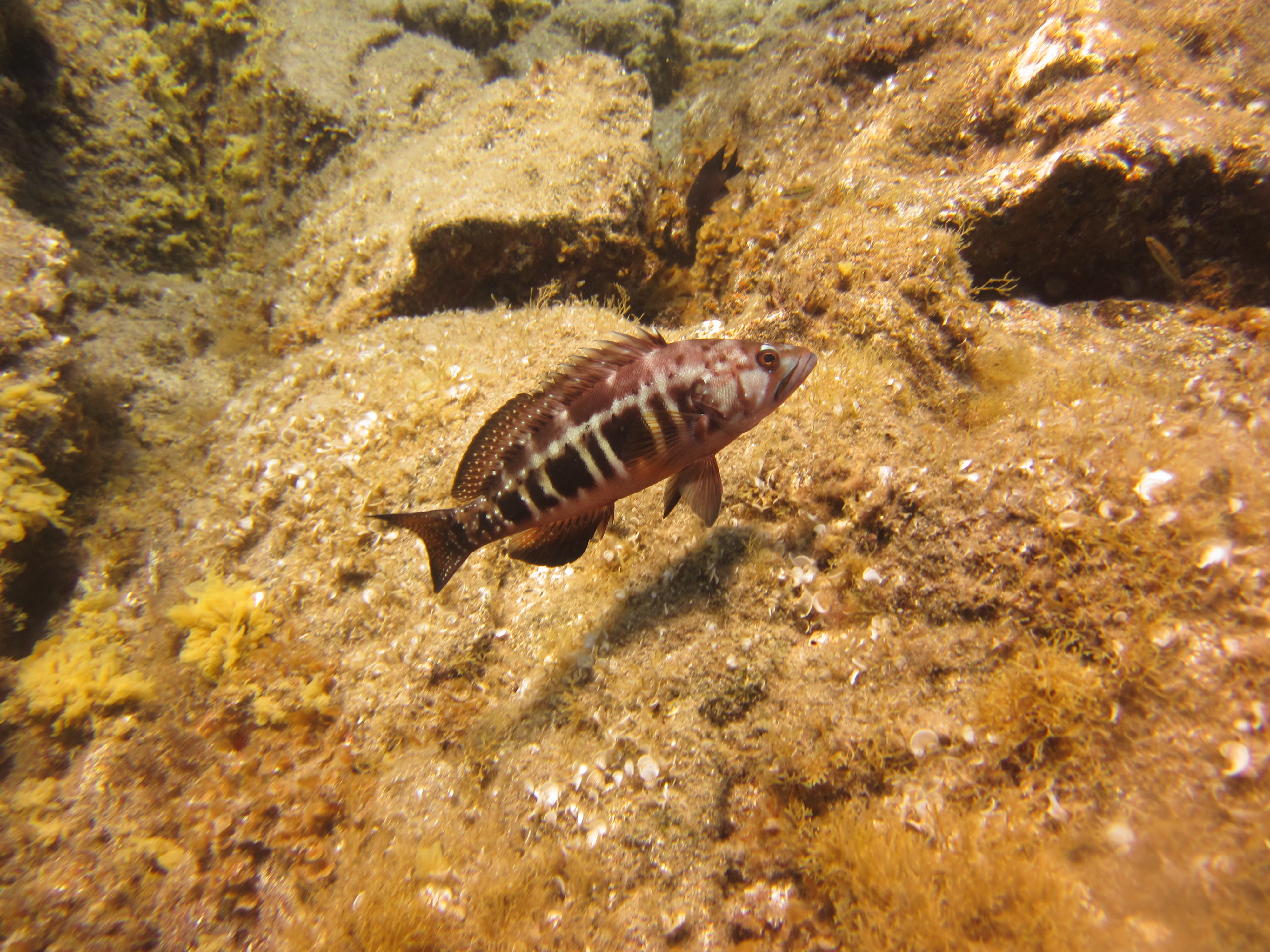 Diving-Tenerife-Aquatic-Life-Sharks-Sting-Rays-Fish (58)
