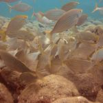 Diving-Tenerife-Aquatic-Life-Sharks-Sting-Rays-Fish (63)q