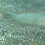 Diving-Tenerife-Aquatic-Life-Sharks-Sting-Rays-Fish (68)