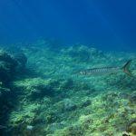 Diving-Tenerife-Aquatic-Life-Sharks-Sting-Rays-Fish (69)