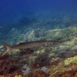 Diving-Tenerife-Aquatic-Life-Sharks-Sting-Rays-Fish (70)
