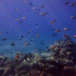 Diving-Tenerife-Aquatic-Life-Sharks-Sting-Rays-Fish (71)
