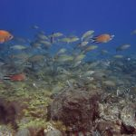 Diving-Tenerife-Aquatic-Life-Sharks-Sting-Rays-Fish (72)