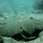 Diving-Tenerife-Aquatic-Life-Sharks-Sting-Rays-Fish (77)