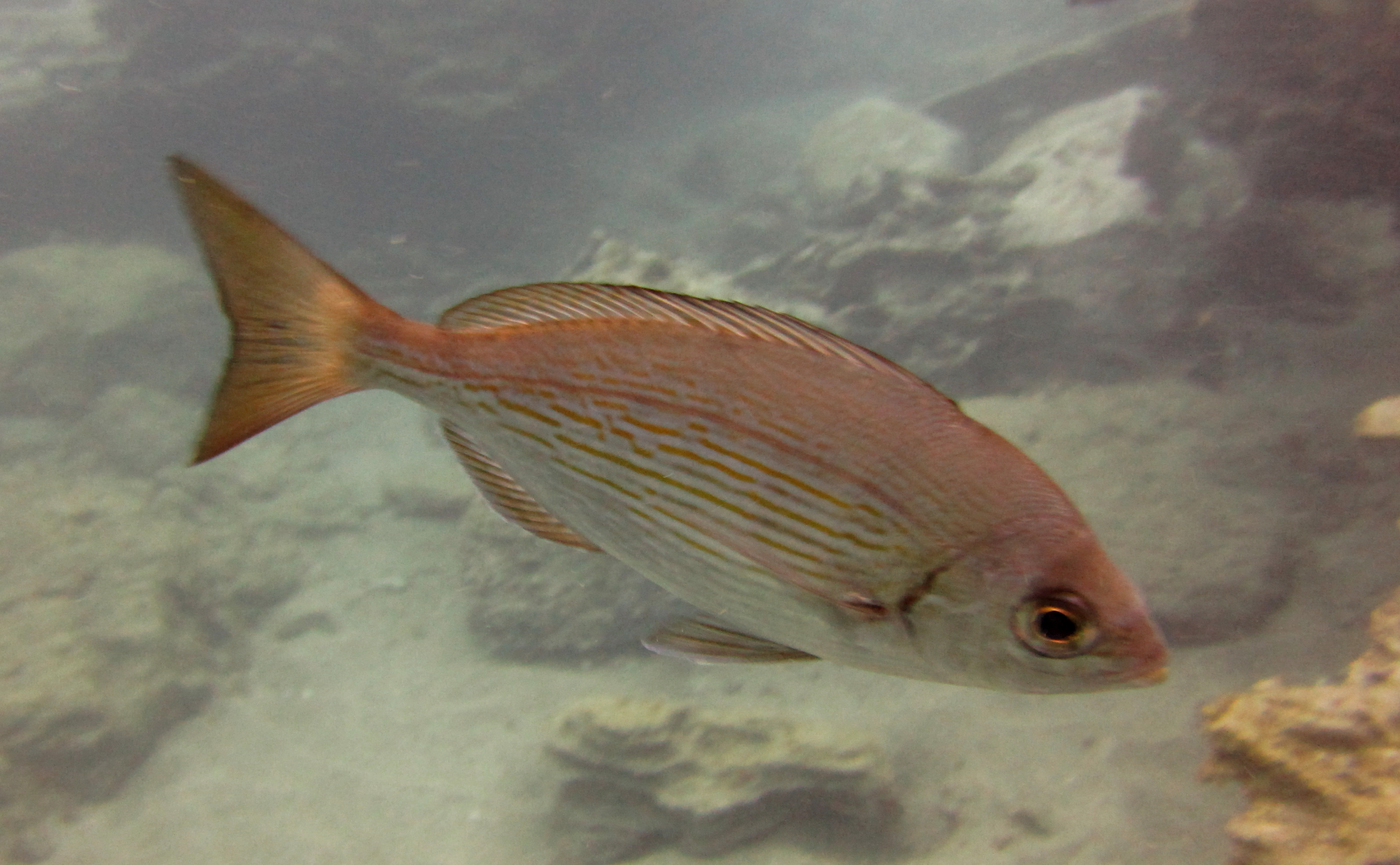 Diving-Tenerife-Aquatic-Life-Sharks-Sting-Rays-Fish (79)