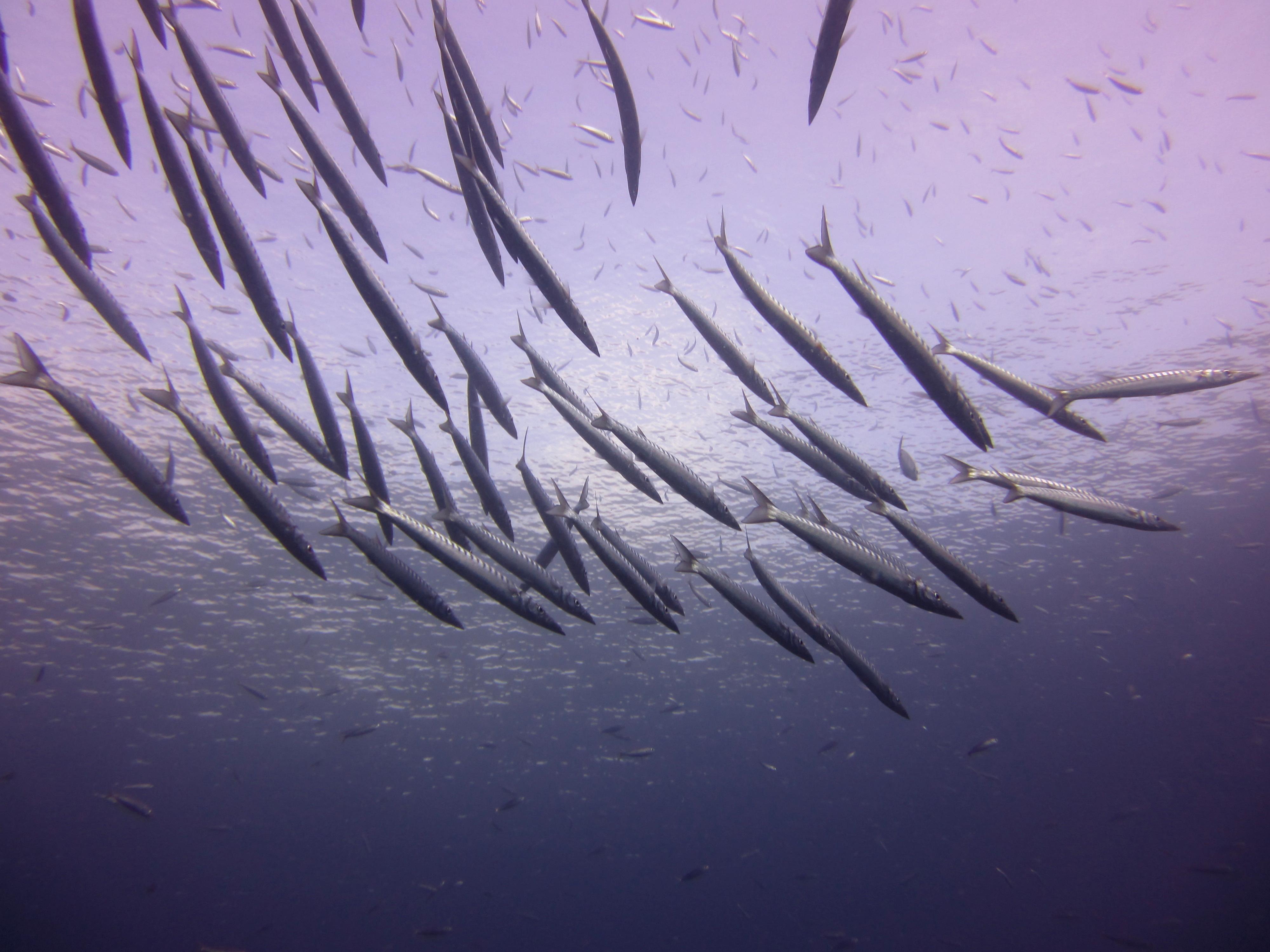 Diving-Tenerife-Aquatic-Life-Sharks-Sting-Rays-Fish (92)