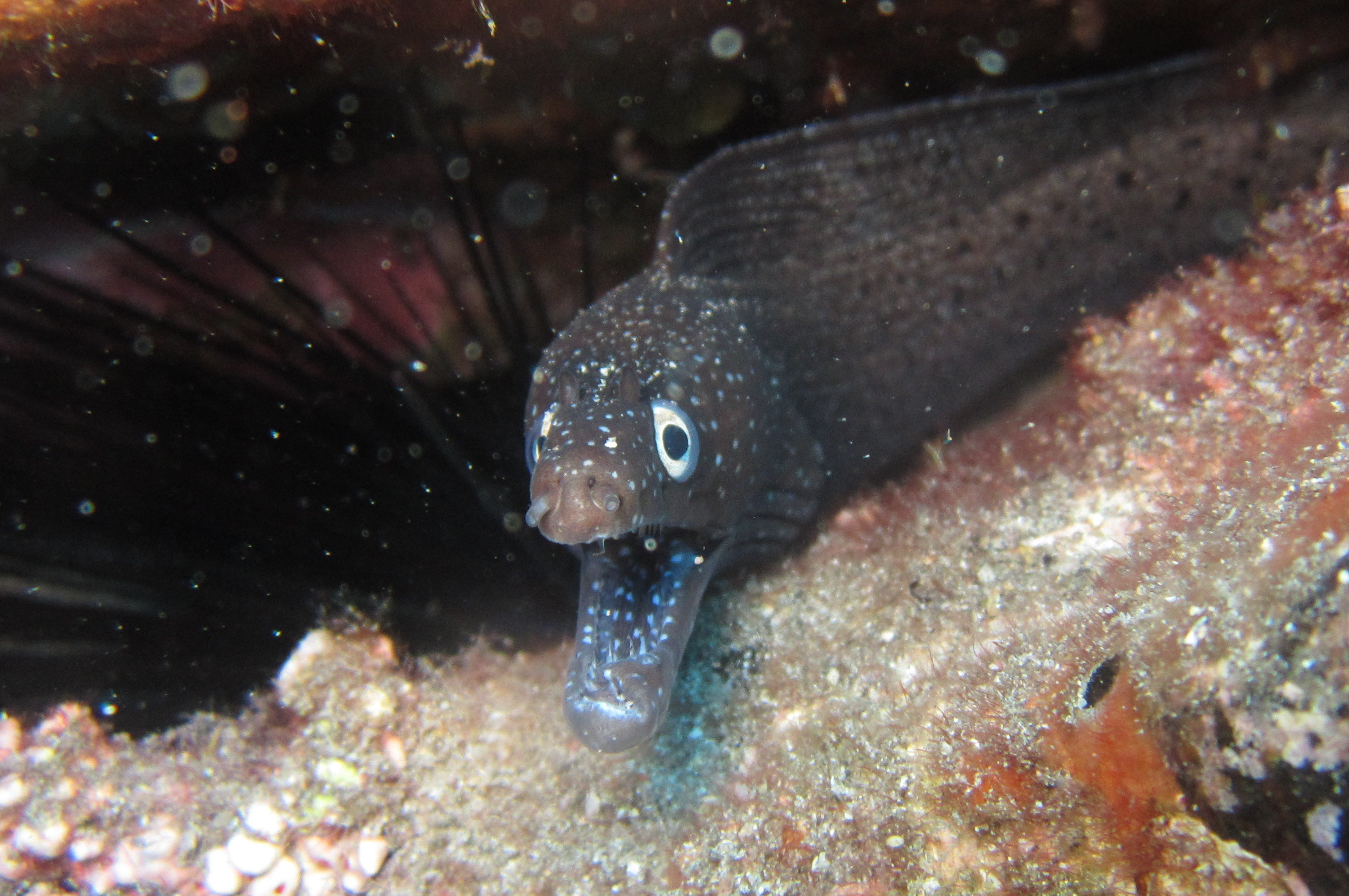 Diving-Tenerife-Moray-Eels-Fangtooth-Dive-And-Sea1 (3)