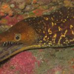 Diving-Tenerife-Moray-Eels-Fangtooth-Dive-And-Sea1 (6)