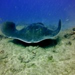 Diving-Tenerife-Sting-Rays-Dive-And-Sea-Tenerife (8)
