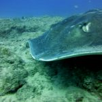 Diving-Tenerife-Sting-Rays-Dive-And-Sea-Tenerife (9)