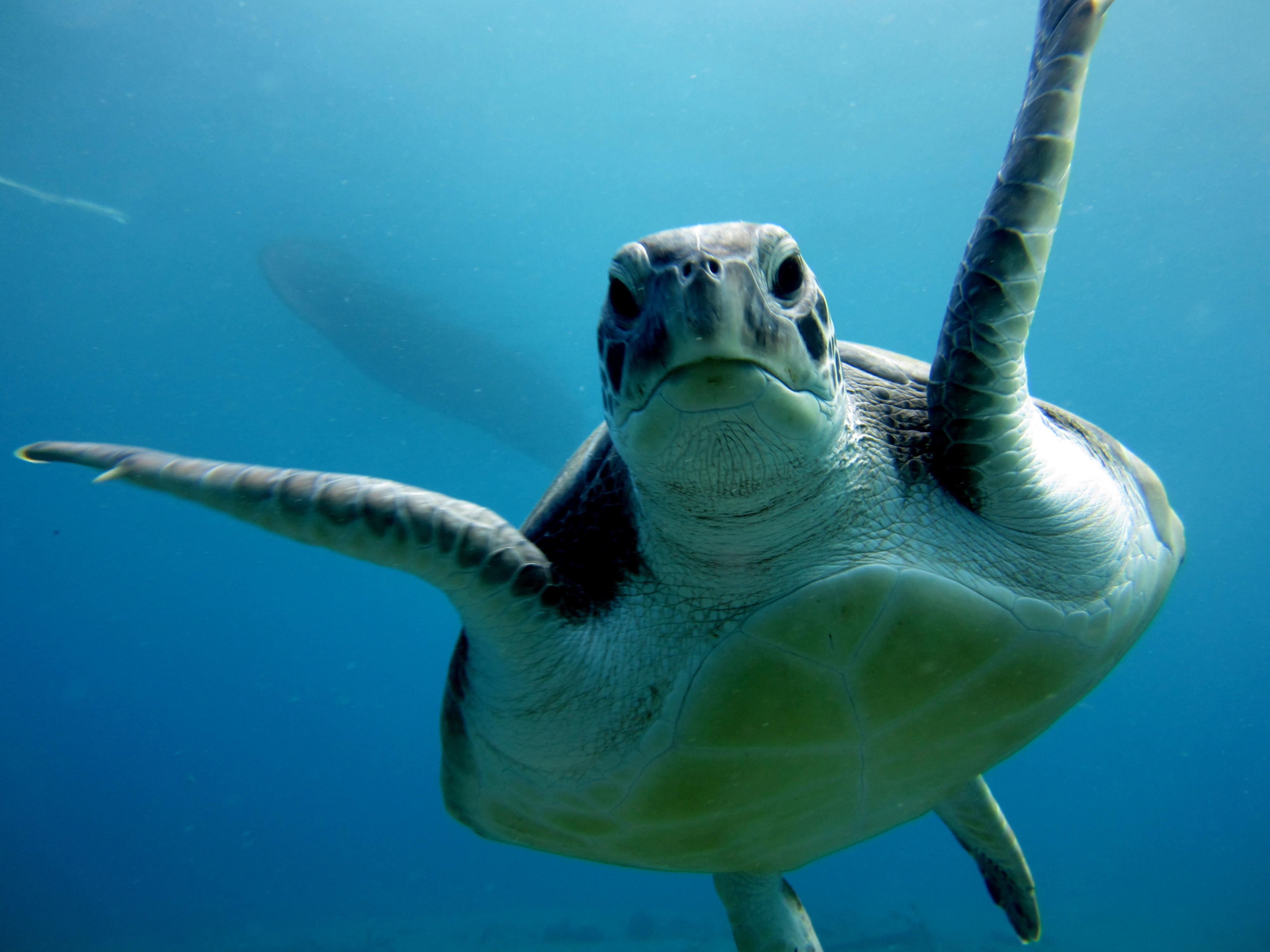 Diving-Tenerife-Turtles-PADI-Divemaster