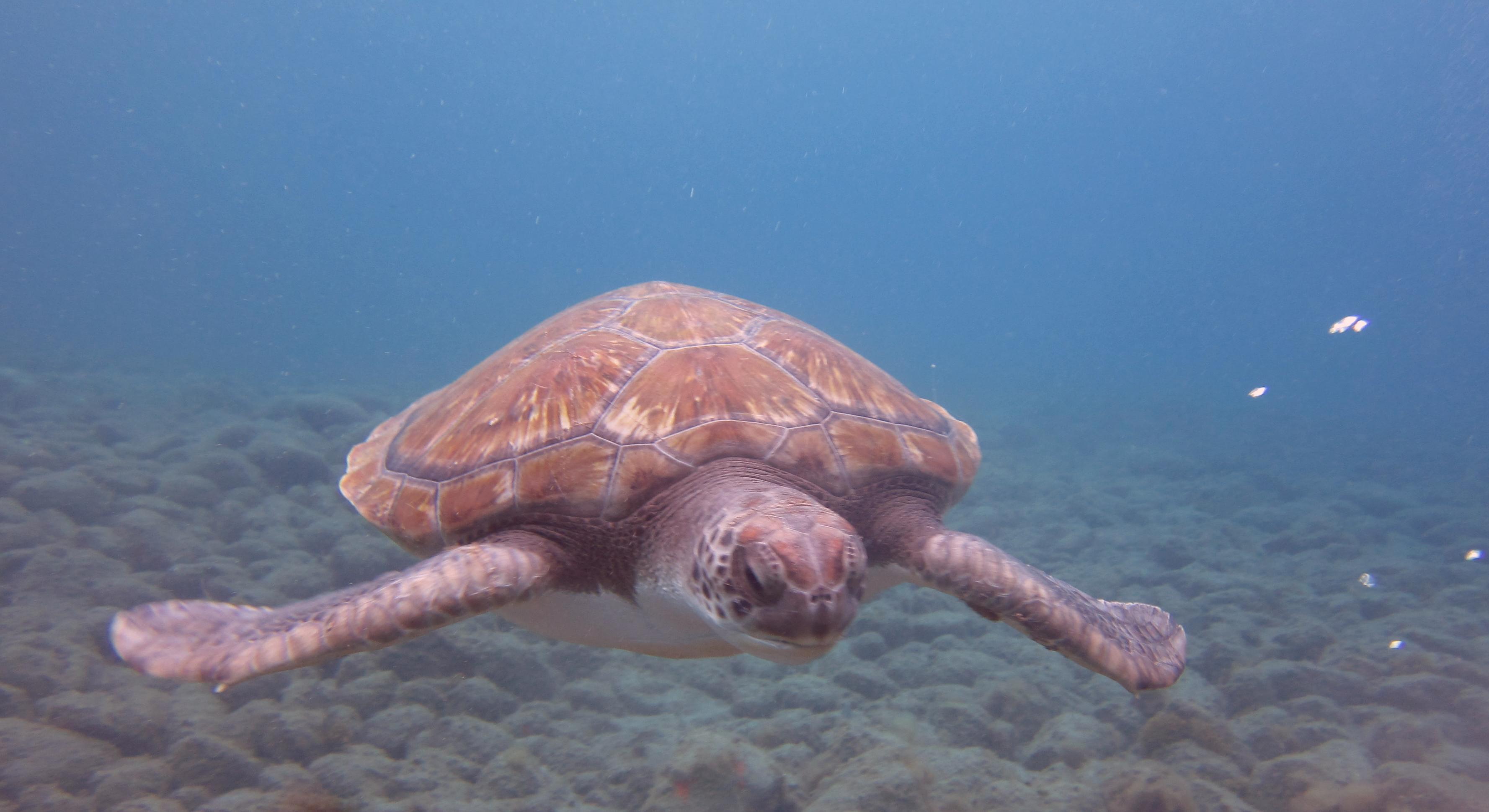 Diving-Tenerife-Turtles-divemaster