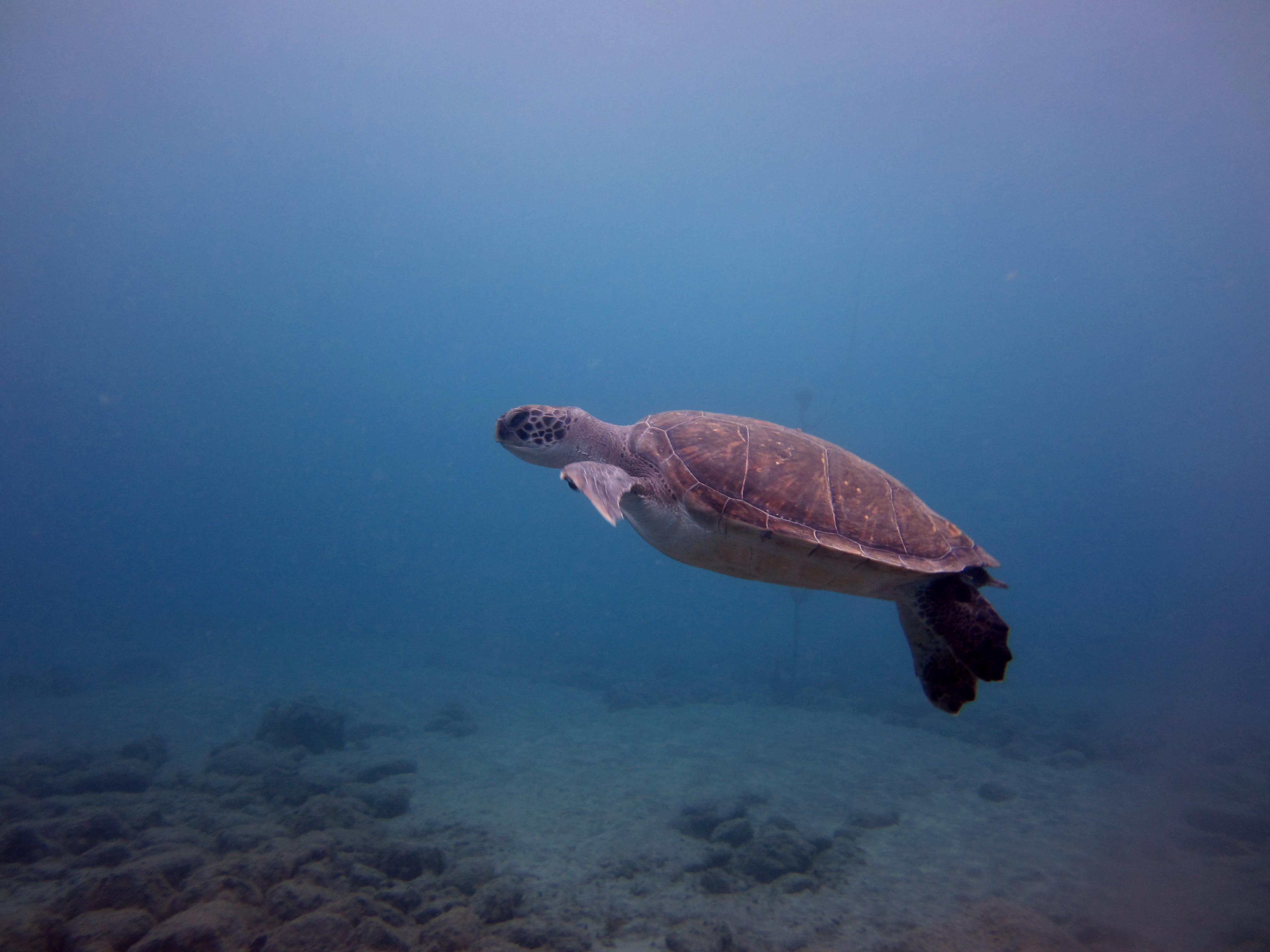 Diving-Tenerife-Turtles-1 (4)