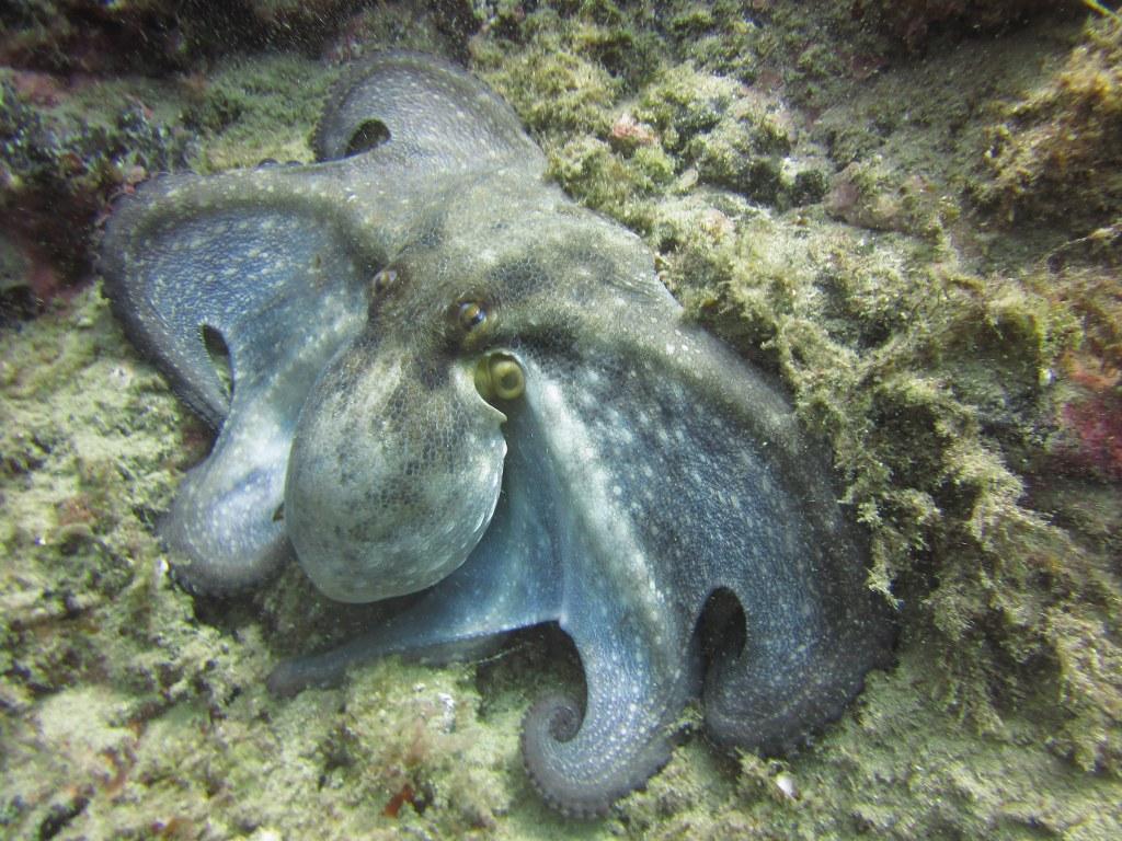 Pequeño-Valle-diving-tenerife-common-Octopus