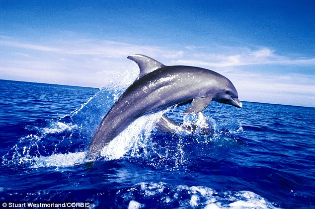 Diving Tenerife - Dolphins