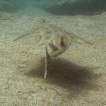 diving-tenerife-Abades-Bay-Angel-Shark