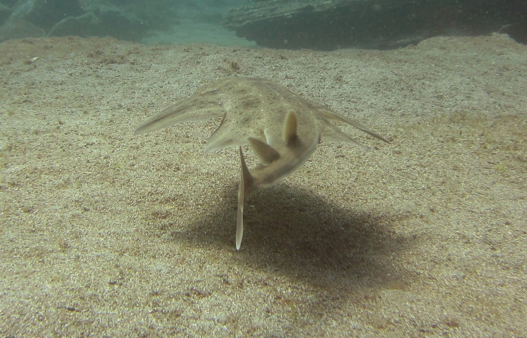 diving-tenerife-Abades-Bay-Angel-Shark