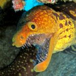 diving-tenerife-Abades-Fangtooth-Moray-Eel
